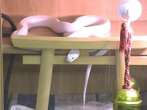 shirohebisama011001